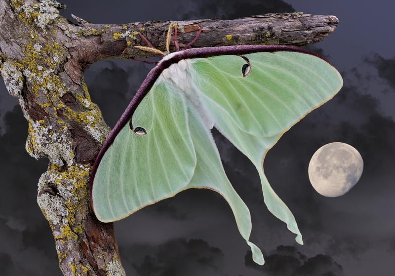 Luna moth by moonlight