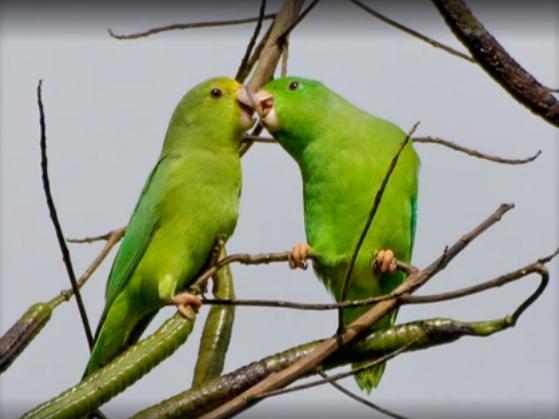 چرا طوطی ها به هم غذا میدهند؟