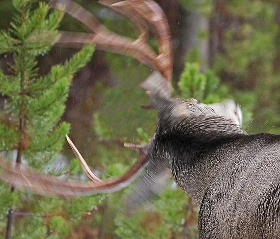 Deer shaking