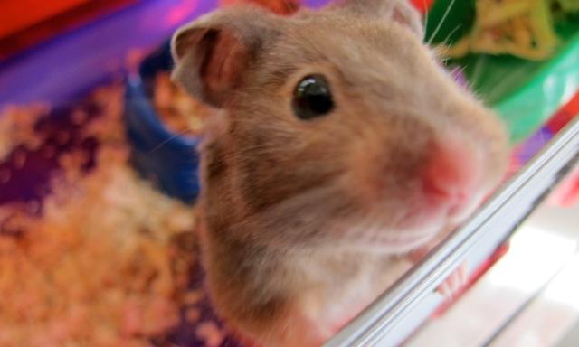 Gerbie the hamster