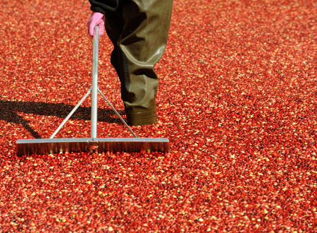 Bumper crop for New England Cranberry Bogs (TIMOTHY A. CLARY/AFP/Getty Images)